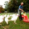 Farmer feeding turkeys -crop
