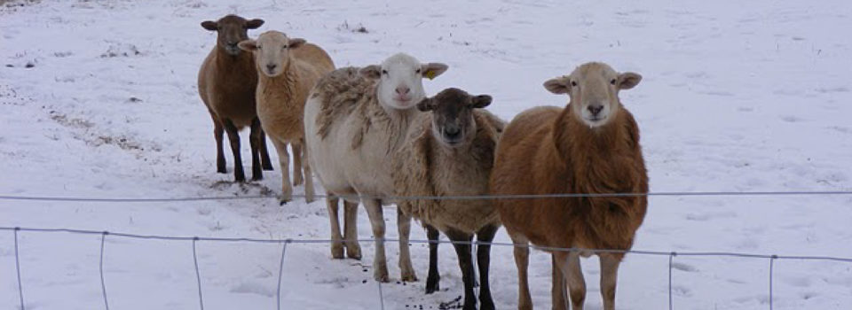 Homepage-slider-sheep-winter-01