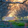 orchard-trees-foreground-barn-background-byjenniferlangley